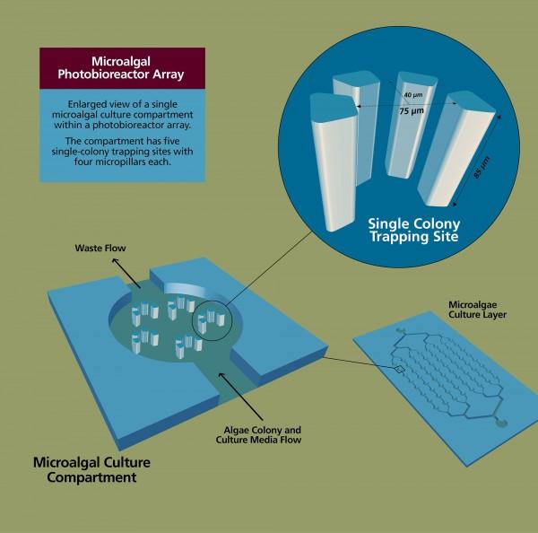 Microalgal Photobioreactor Array for Microalgae Domestication